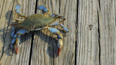 A Maryland blue crab who is not bound by Maryland adoption laws, since crabs do no't recognize human law